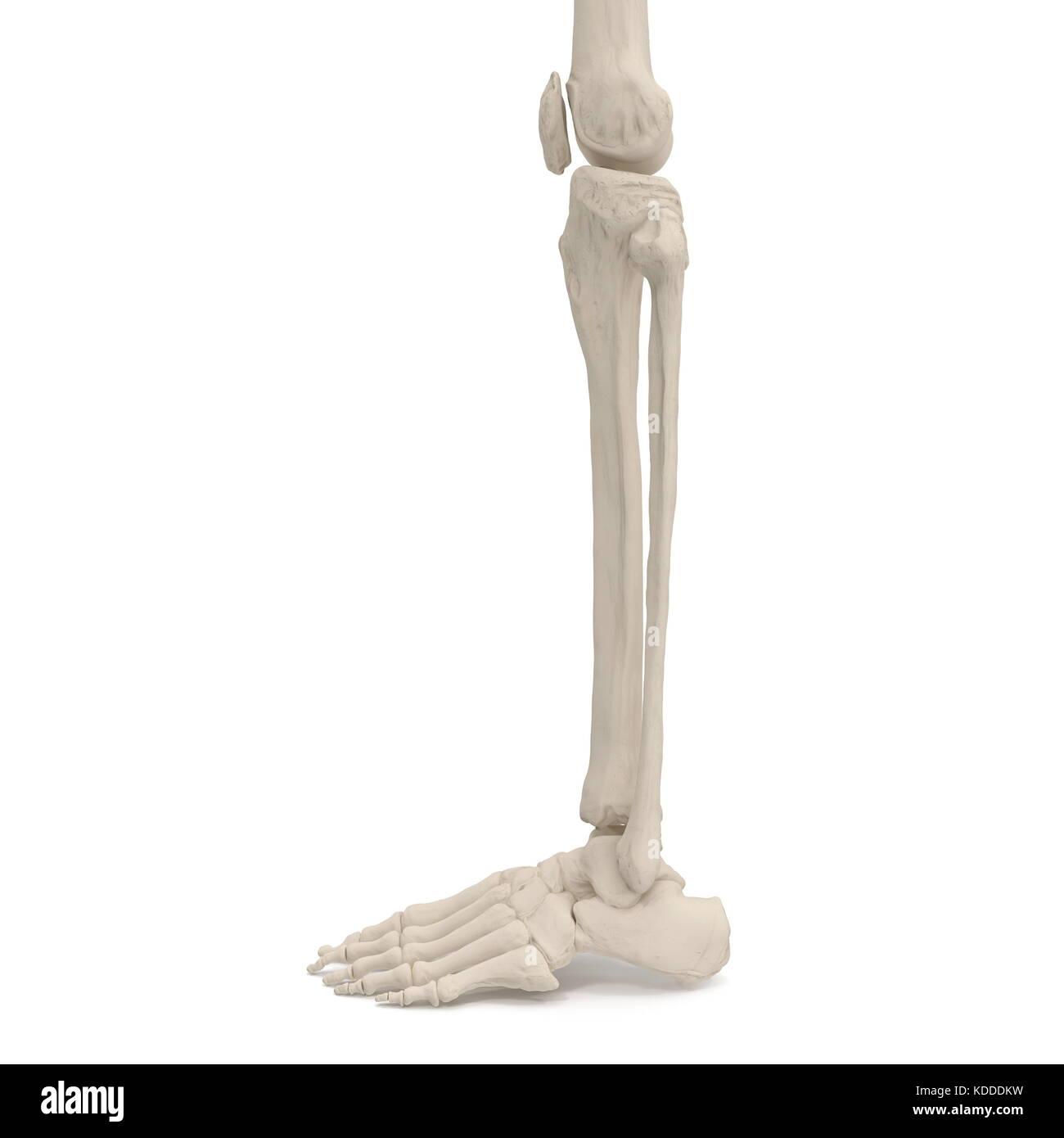 Ungewöhnlich Knochen Der Beine Zeitgenössisch - Anatomie Von ...