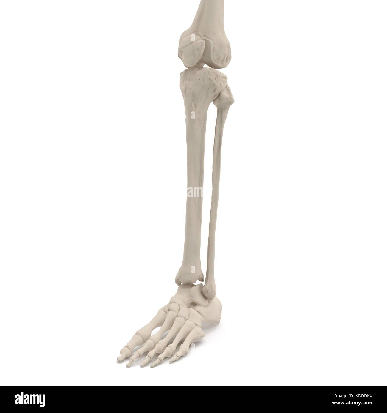 Menschlichen Beinen Skelett Knochen auf Weiß. 3D-Darstellung ...