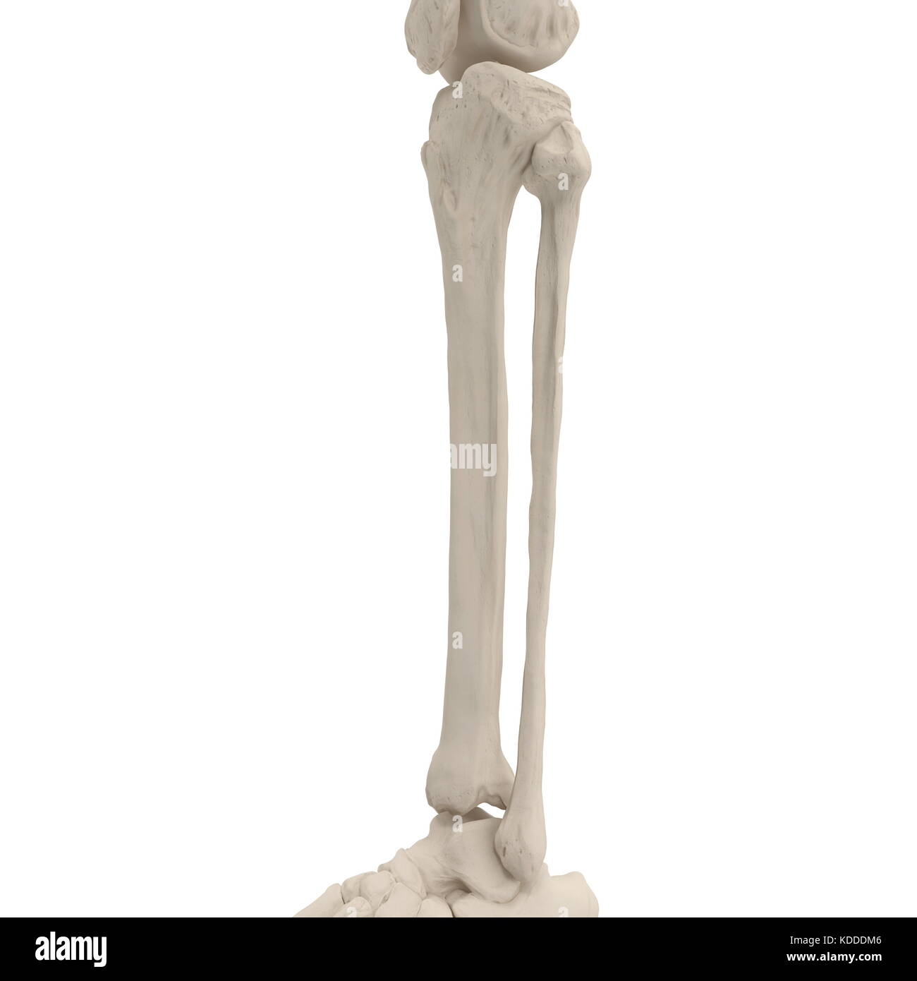 Bones Of Leg Stockfotos & Bones Of Leg Bilder - Seite 7 - Alamy