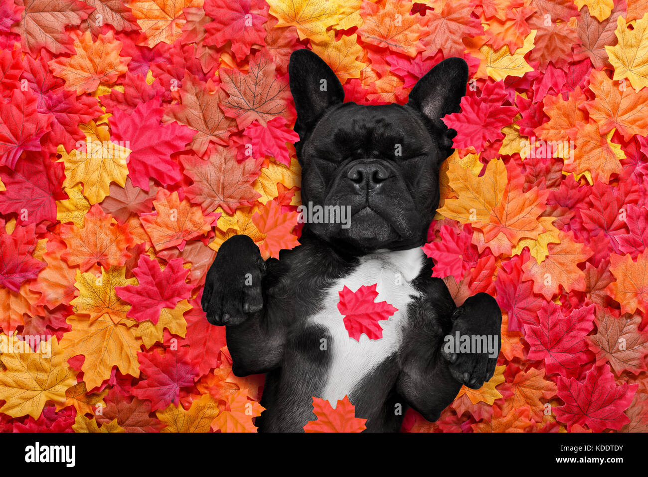 leaves happy dog stockfotos leaves happy dog bilder seite 4 alamy. Black Bedroom Furniture Sets. Home Design Ideas