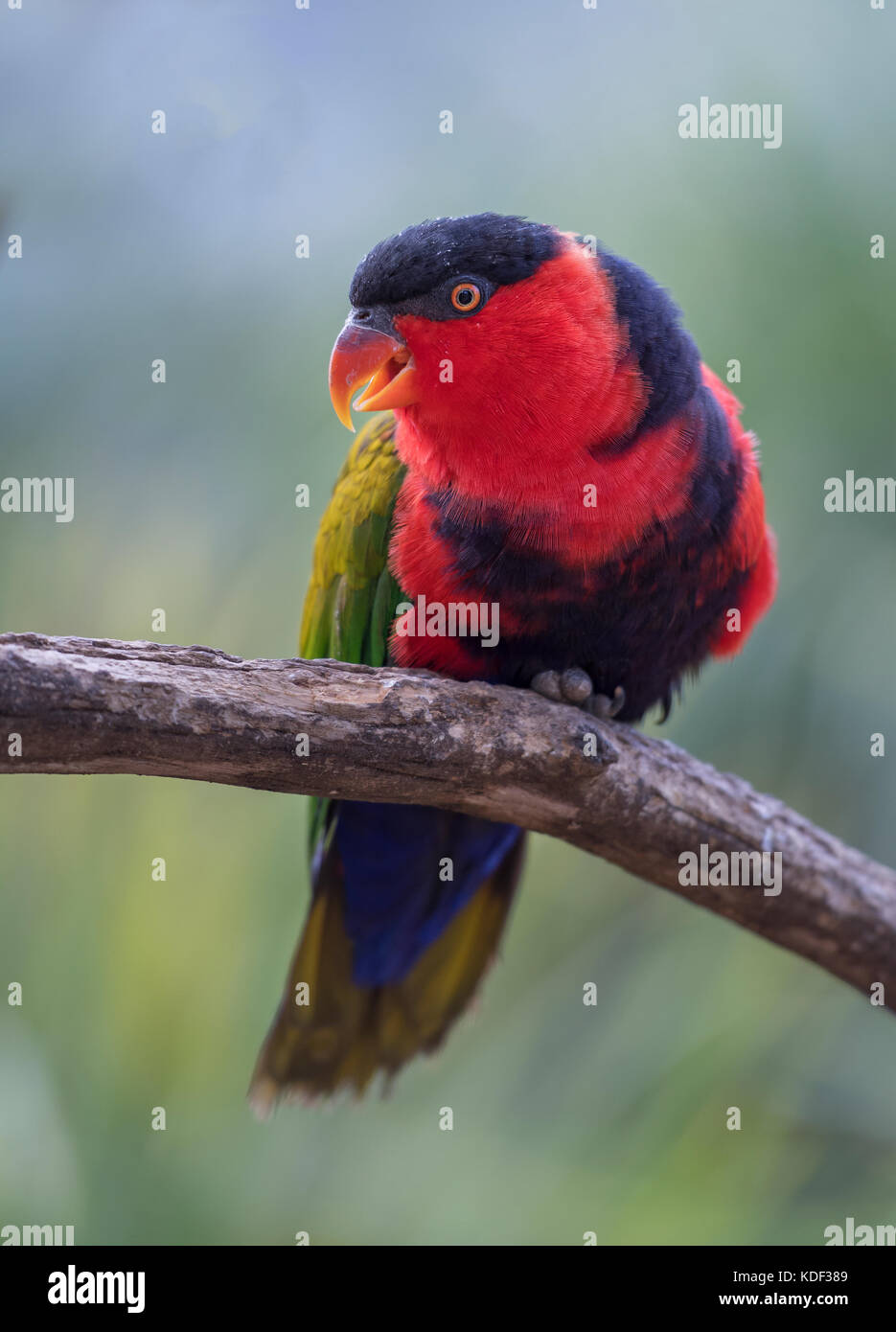Eine schwarze Kappe Papagei Anzeige einer schönen bunten Gefieder sitzen auf einer Stange mit einer diffusen Stockbild