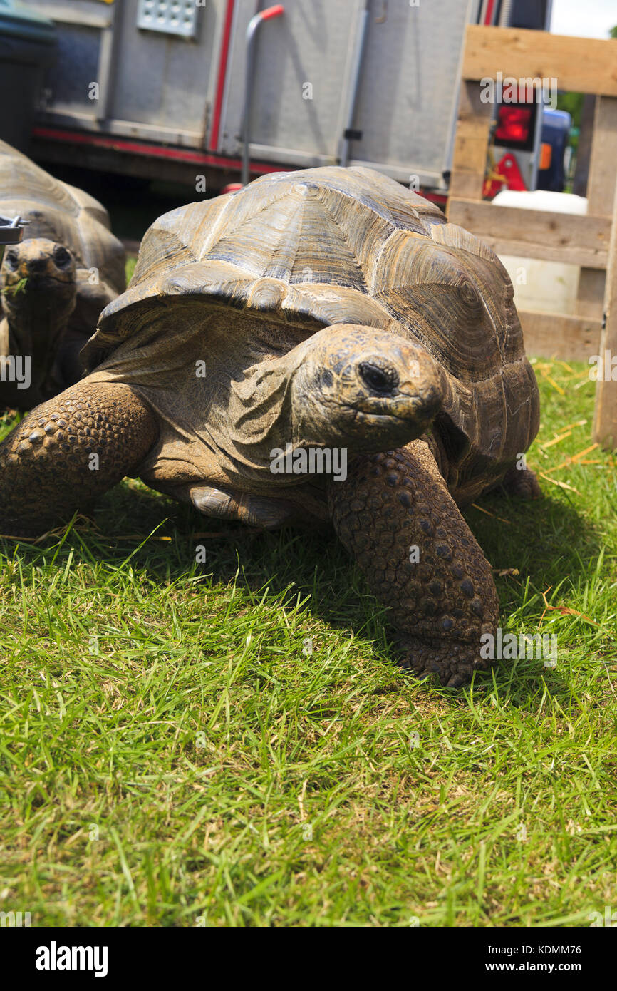 Aldabra Riesenschildkröten Stockbild