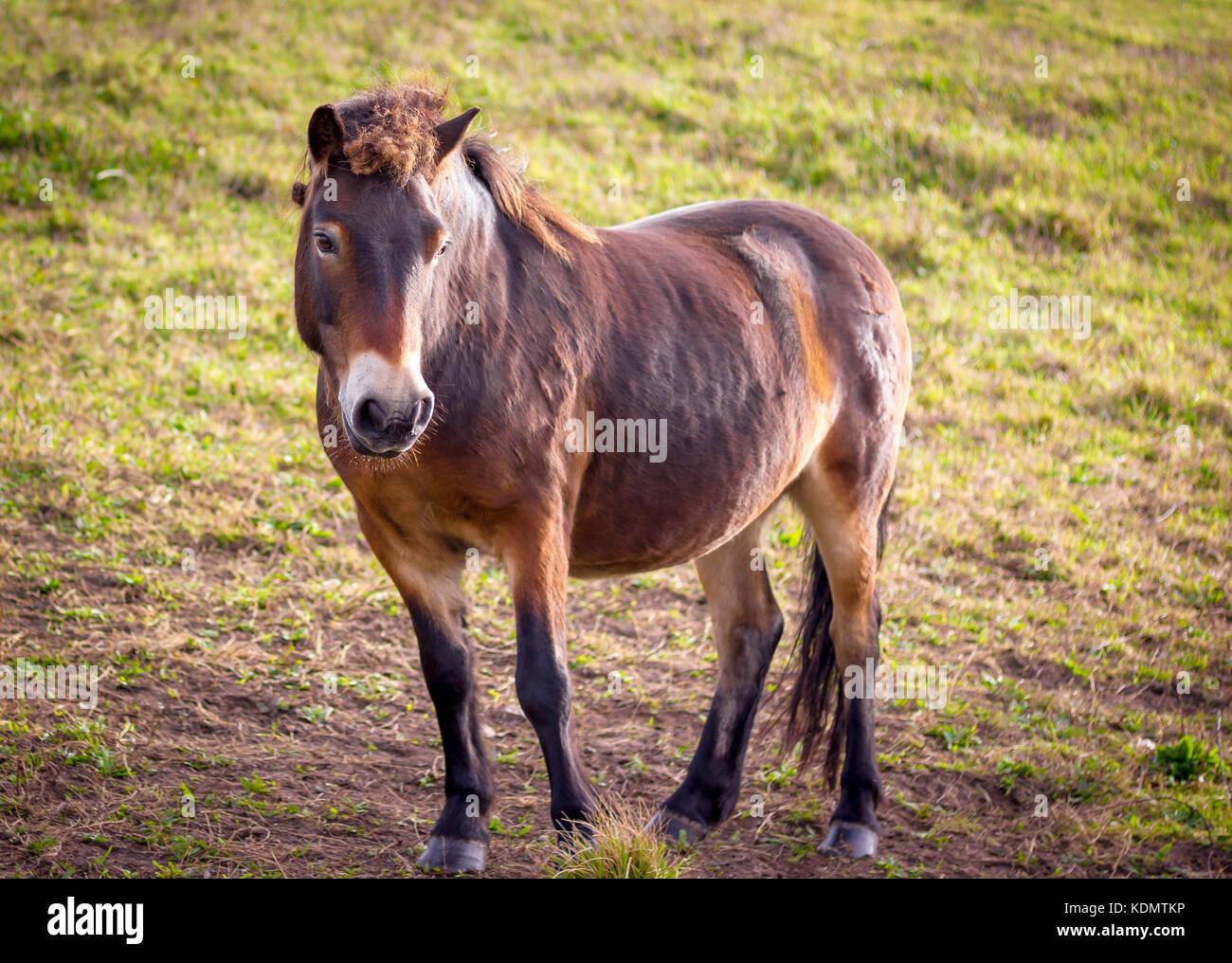 Dartmoor Ponys Weiden an der Sussex South Downs nach ihrer jährlichen Umzug Stockbild