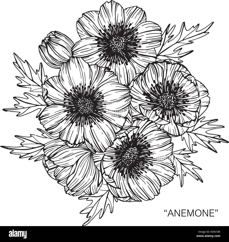 Anemone Flower Line Drawing : Anemone blume zeichnen abbildung schwarz und weiß mit
