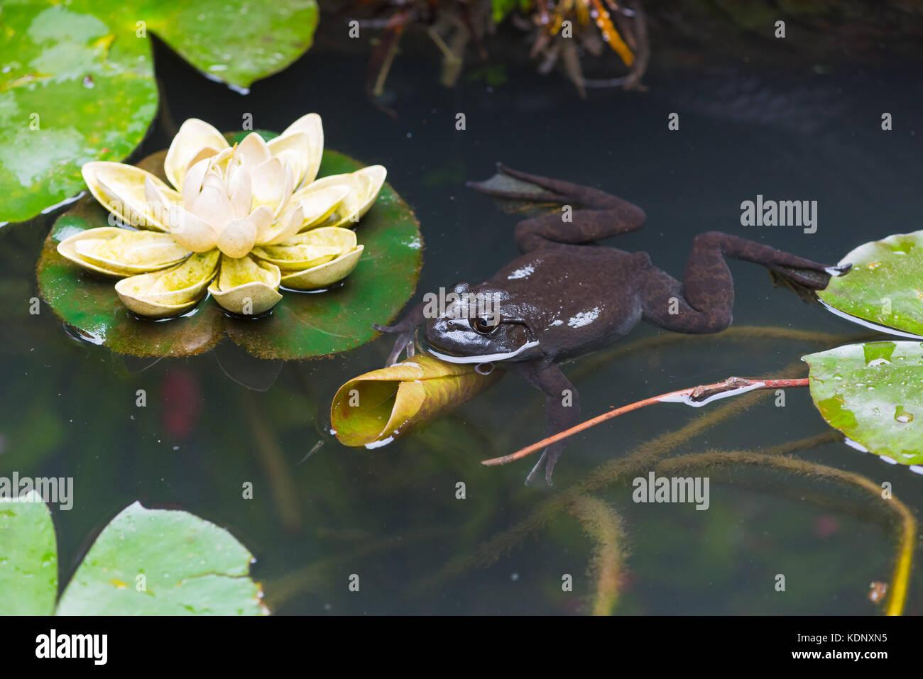 Frosch in einen Teich mit Lotus Blätter Stockbild