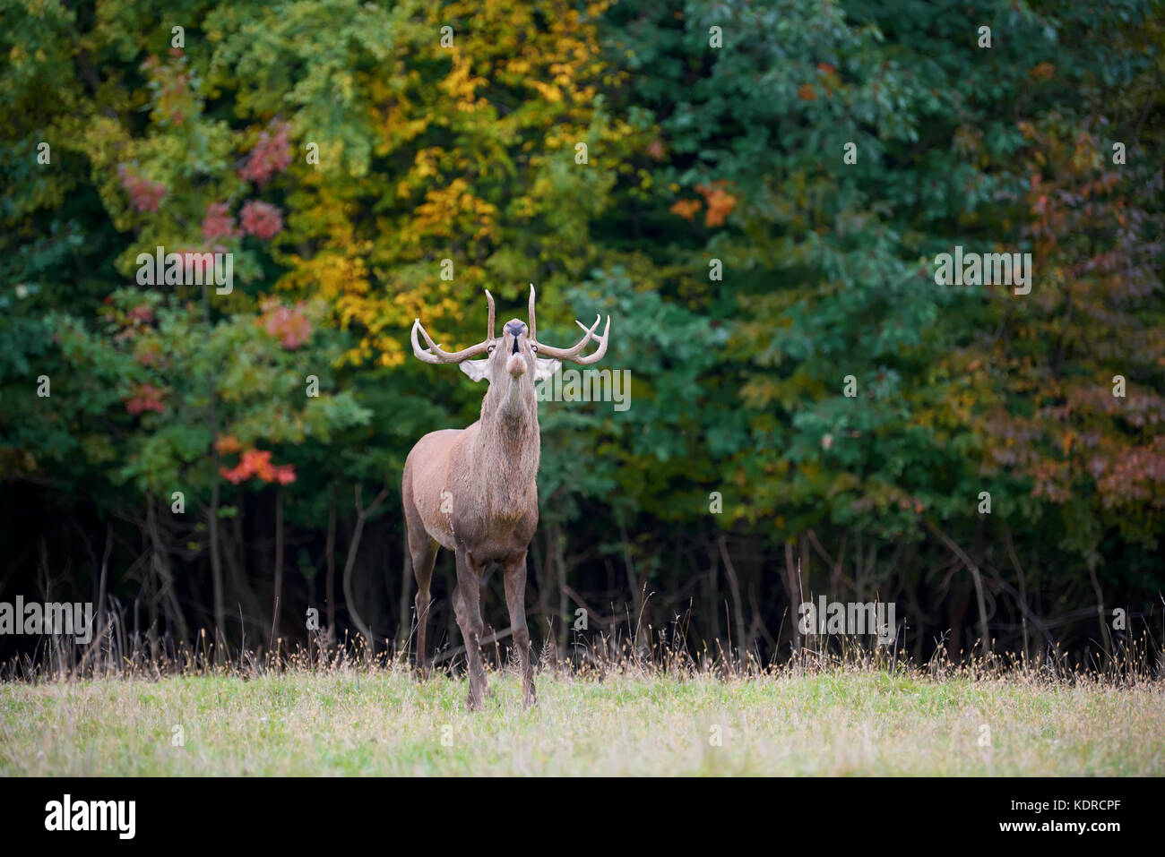 Portrait von majestätischen Leistungsstarke nach Red Deer Hirsch in die natürliche Umwelt Stockbild
