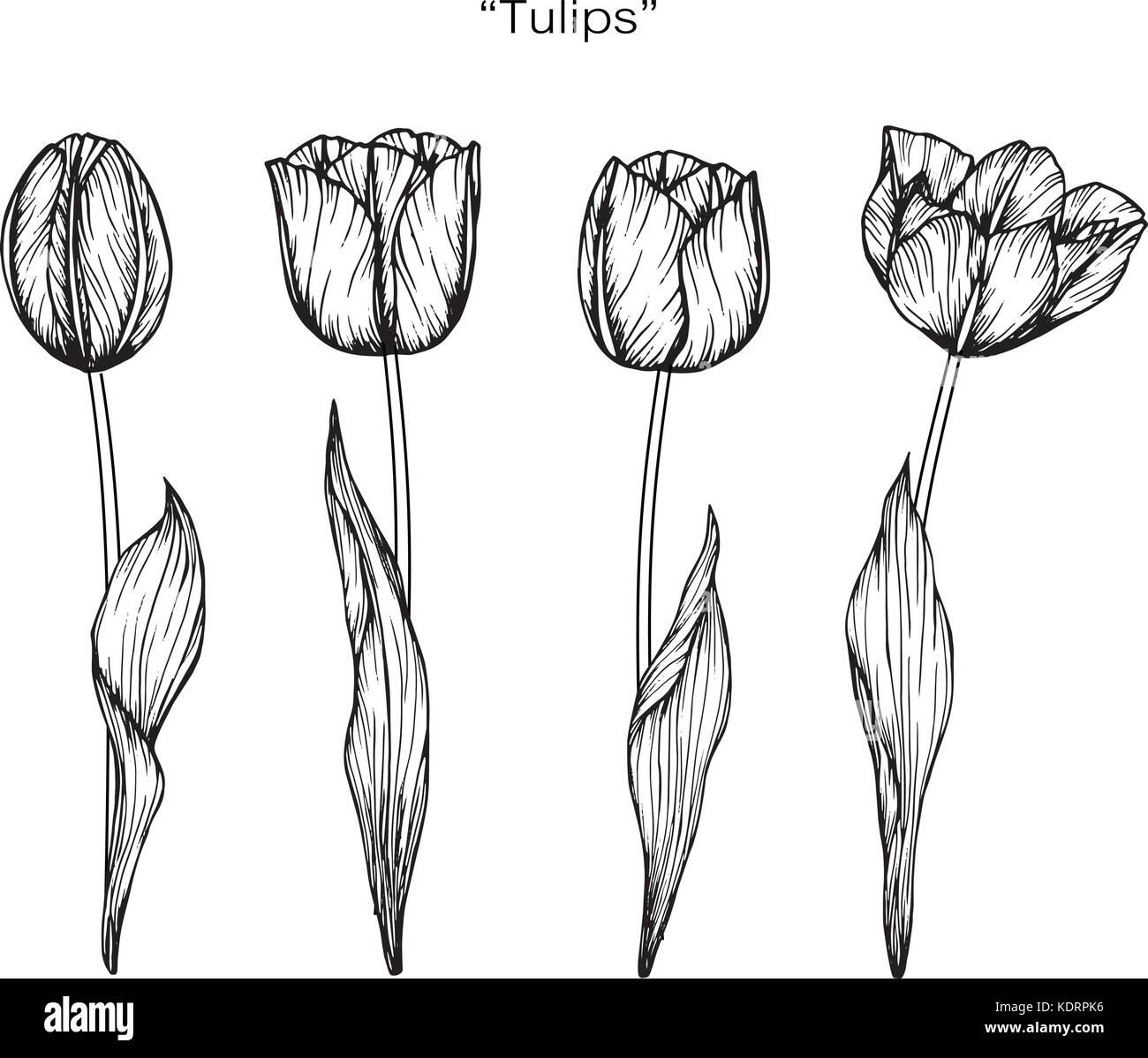 Tulpe Blume Zeichnen Abbildung Schwarz Und Weiss Mit Line Art Vektor