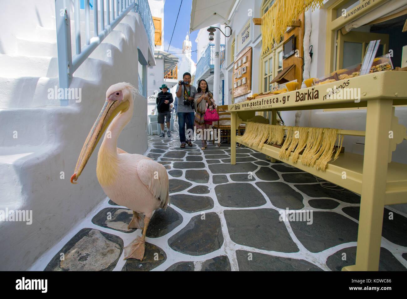 Pelikan Petro, rosapelikan (pelecanus onocrotalus) spaziert in einer Gasse mit souvenir-geschaeften, Mykonos-Stadt, Stockbild