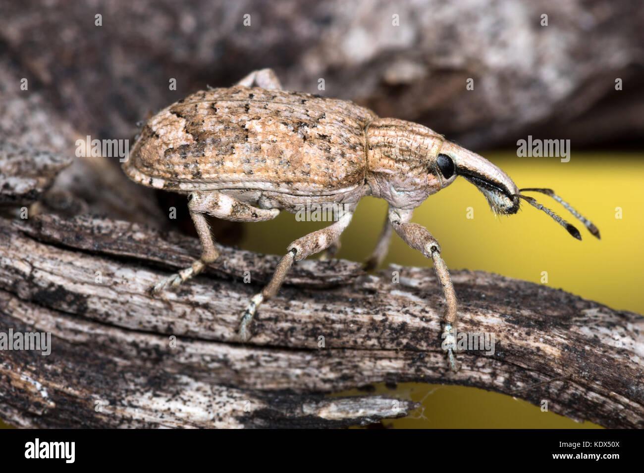 Rüsselkäfer Käfer Makro Foto Stockbild