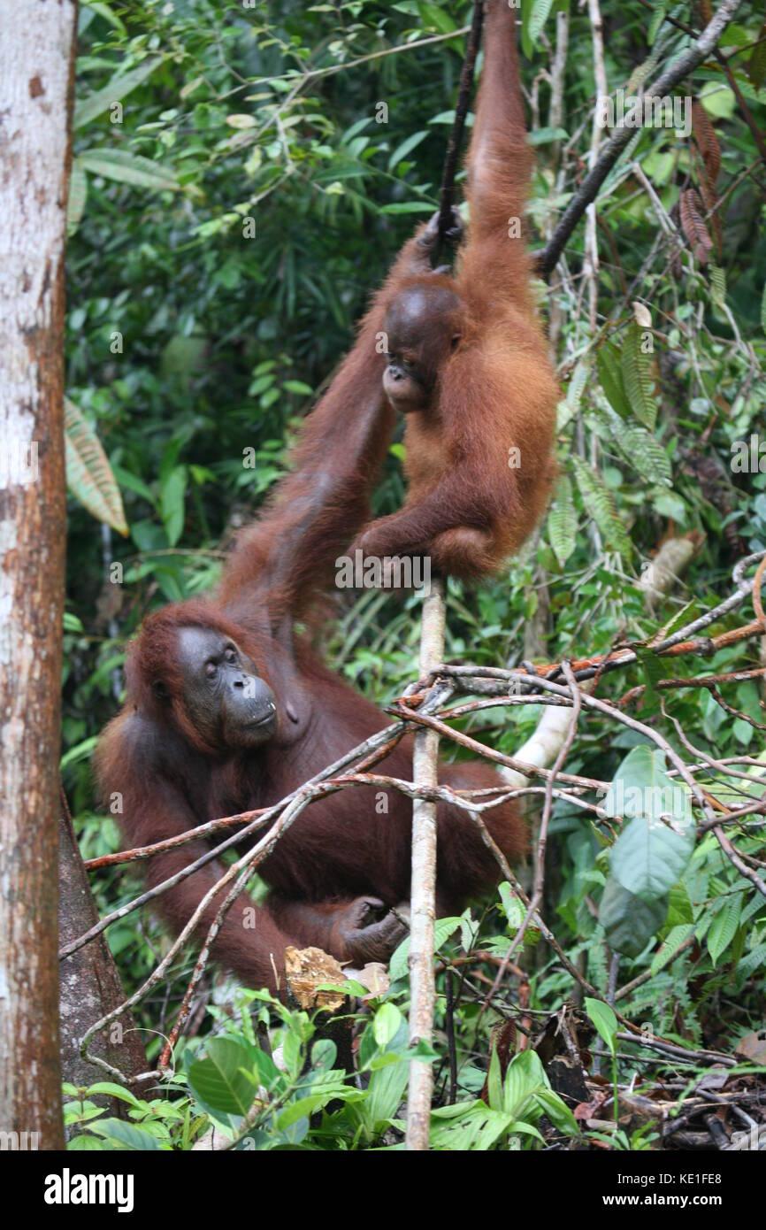 Orang Utans im Semiloggh Wildlife Park Borneo - Borneo Orang Utan Wildlife Rehabilitation Centre Stockbild