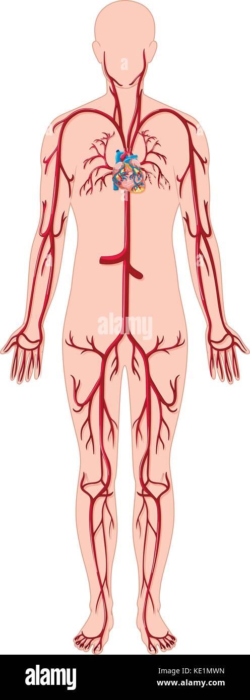 Die Blutgefäße des menschlichen Körpers Abbildung Vektor Abbildung ...