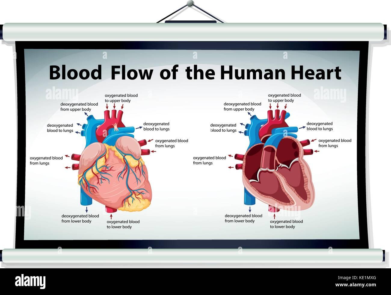Berühmt Herz Animation Blutfluss Fotos - Menschliche Anatomie Bilder ...