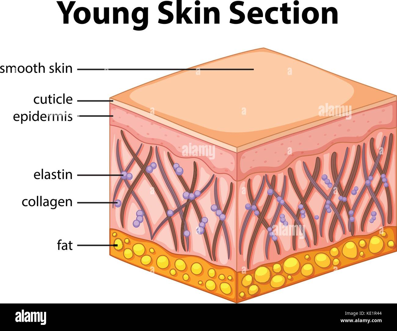 Human Skin Section Diagram Stockfotos & Human Skin Section Diagram ...