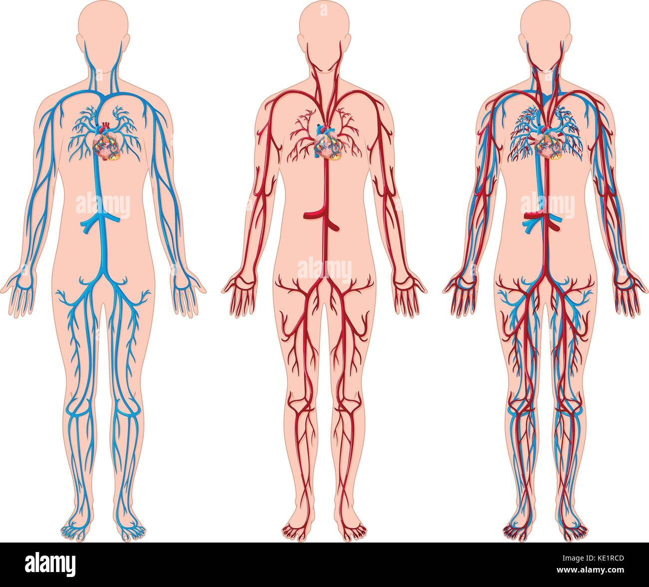 Unterschiedliche Darstellung von Blutgefäßen in der menschlichen ...
