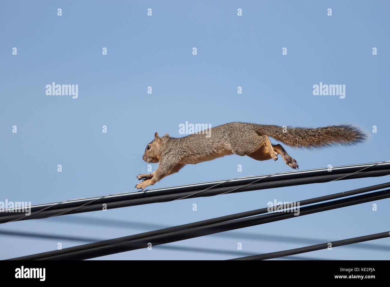 Rot oder Fuchs Eichhörnchen unter Power Utility Drähte Stockfoto ...