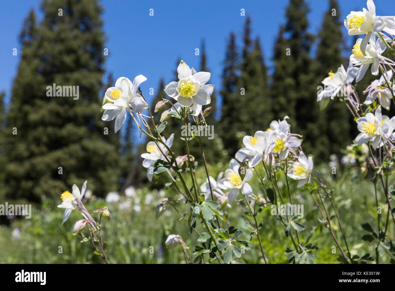 Columbine und Pinien, Colorado Stockbild