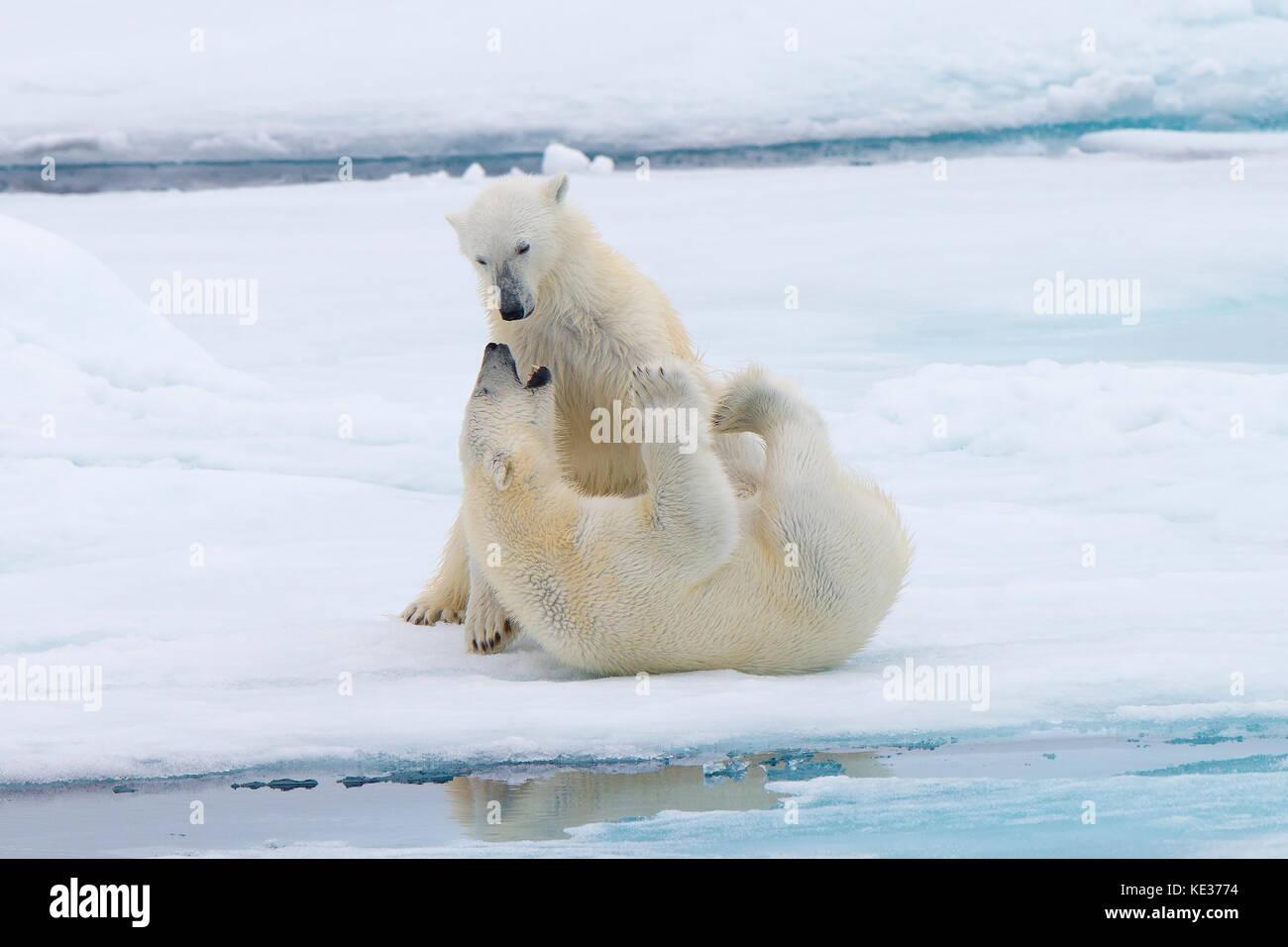 Nach weiblichen Eisbären (Ursus maritimus) Interaktion auf dem Meereis, Svalbard, Das arktische Norwegen Stockbild