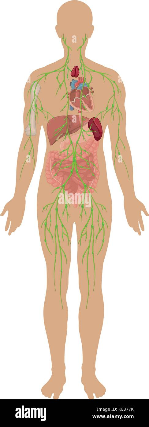 The Lymphatic System Stockfotos & The Lymphatic System Bilder - Alamy