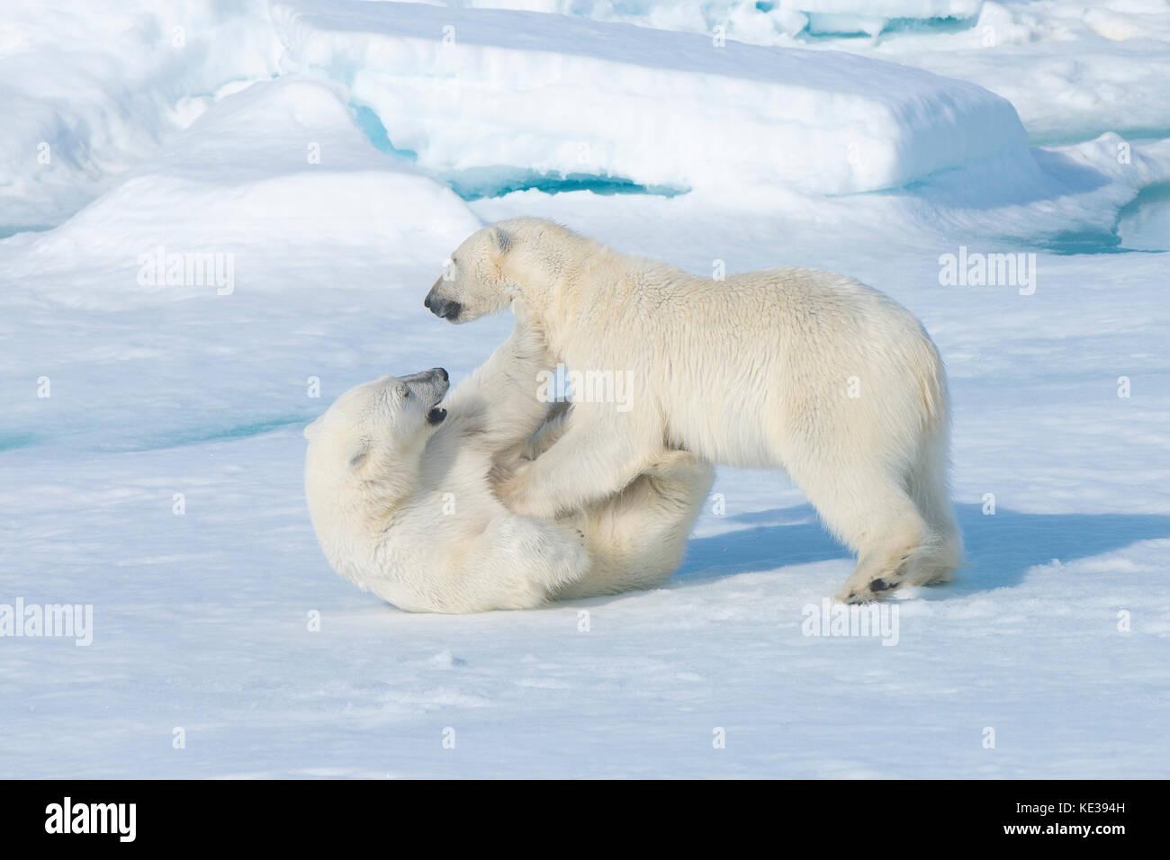 Zwei Jahre alten Polar bear Cubs (Ursus maritimus) spielen, Svalbard, der norwegischen Arktis Stockbild