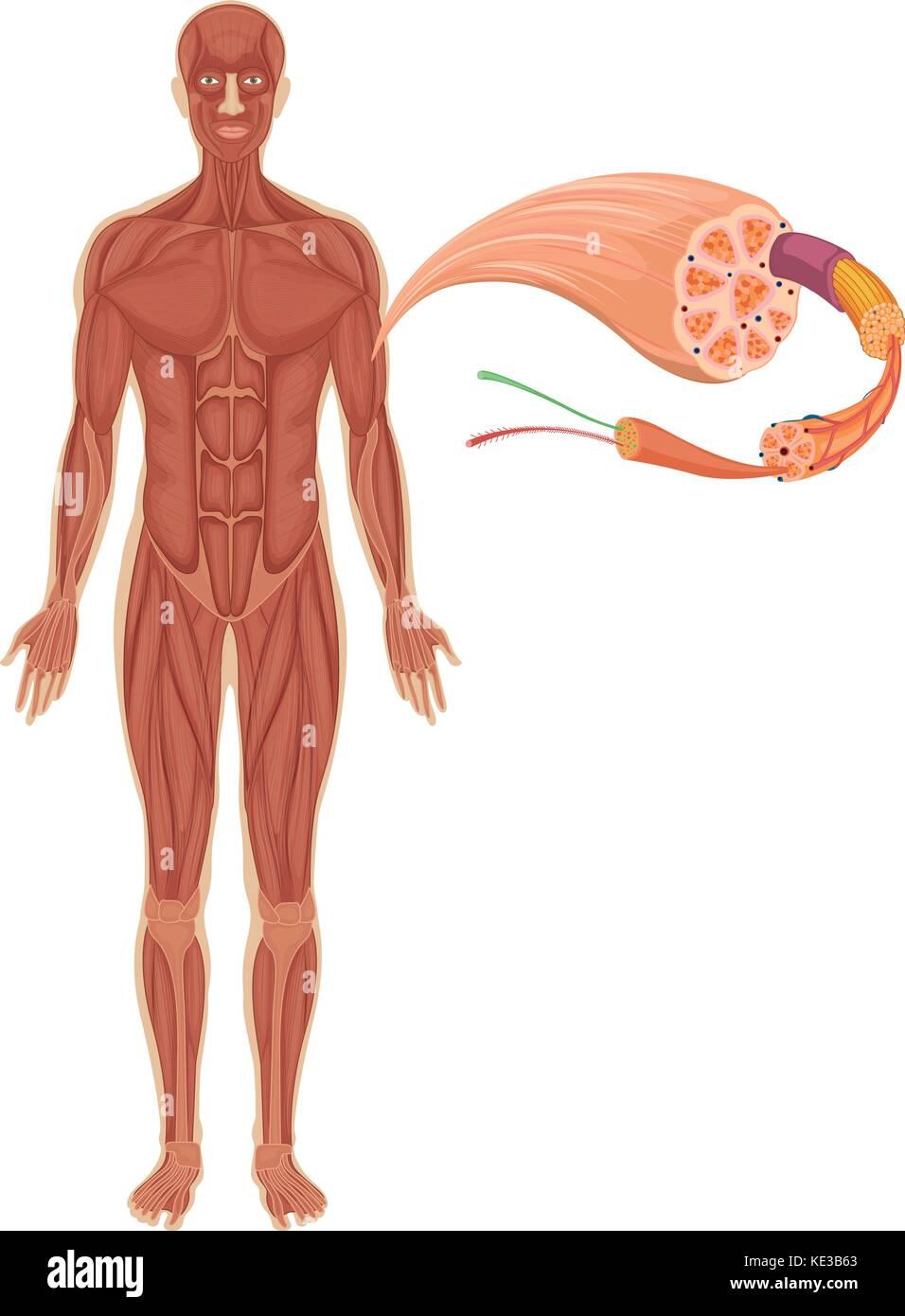 Schön Diagramm Der Inneren Organe Des Menschlichen Körpers Bilder ...
