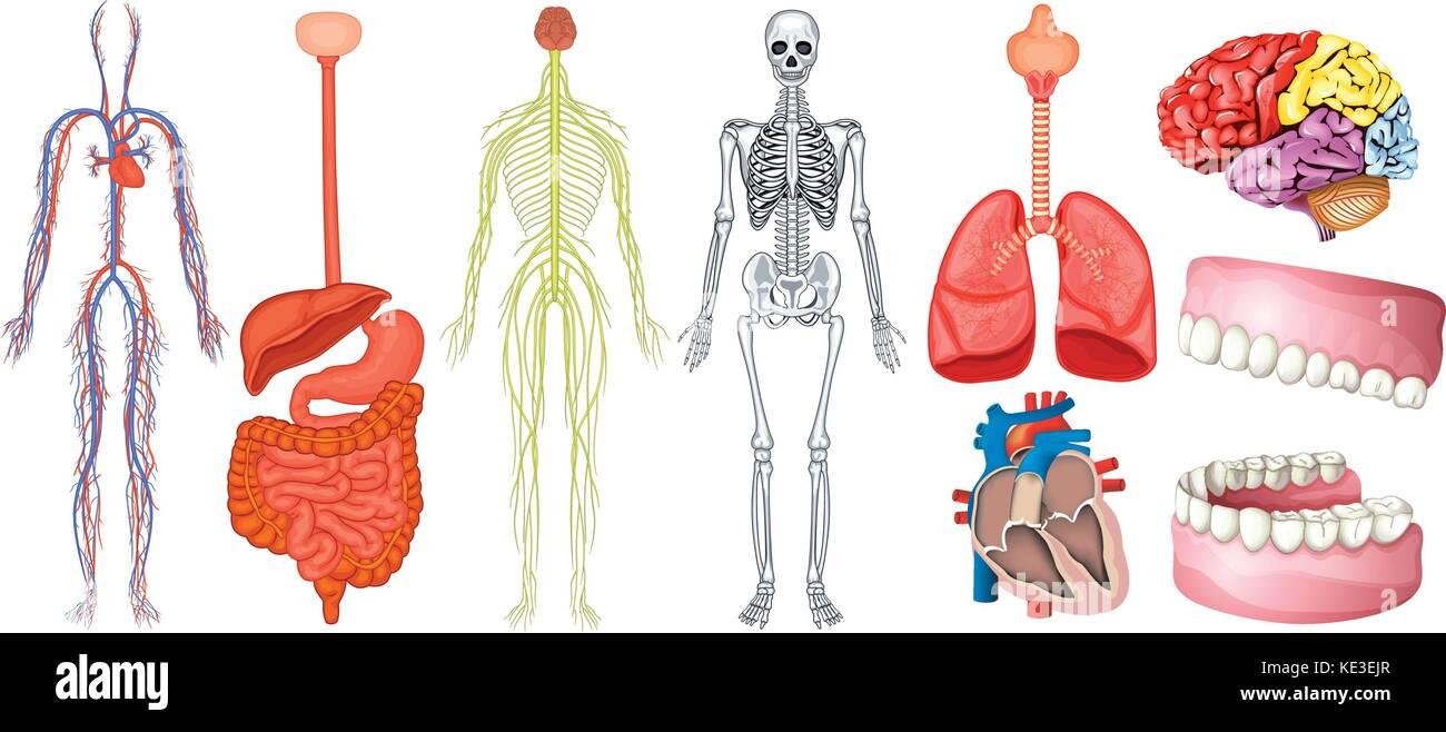 Ungewöhnlich Menschliche Körper Organe Diagramm Für Kinder Galerie ...