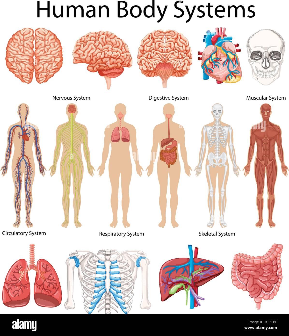 Diagramm mit menschlichen Körper Systeme Abbildung Vektor Abbildung ...
