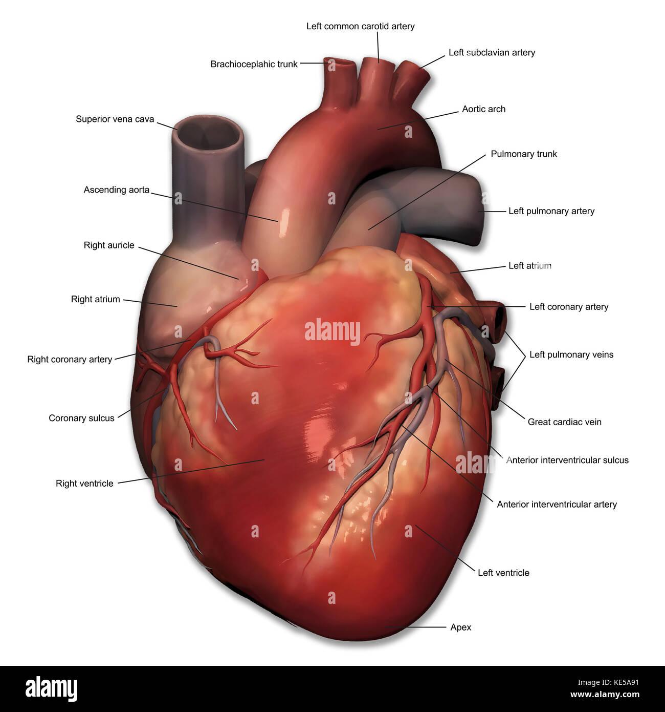 Vorderansicht des menschlichen Herzens Anatomie mit Anmerkungen ...