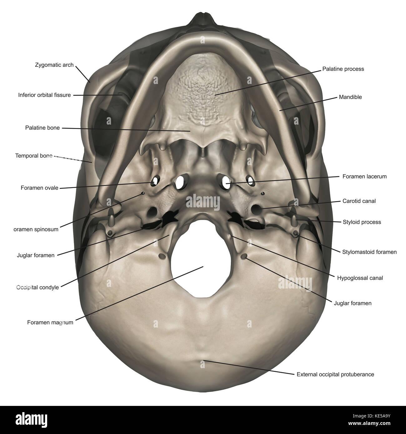 Schlechtere Sicht der menschlichen Schädel Anatomie mit Anmerkungen ...