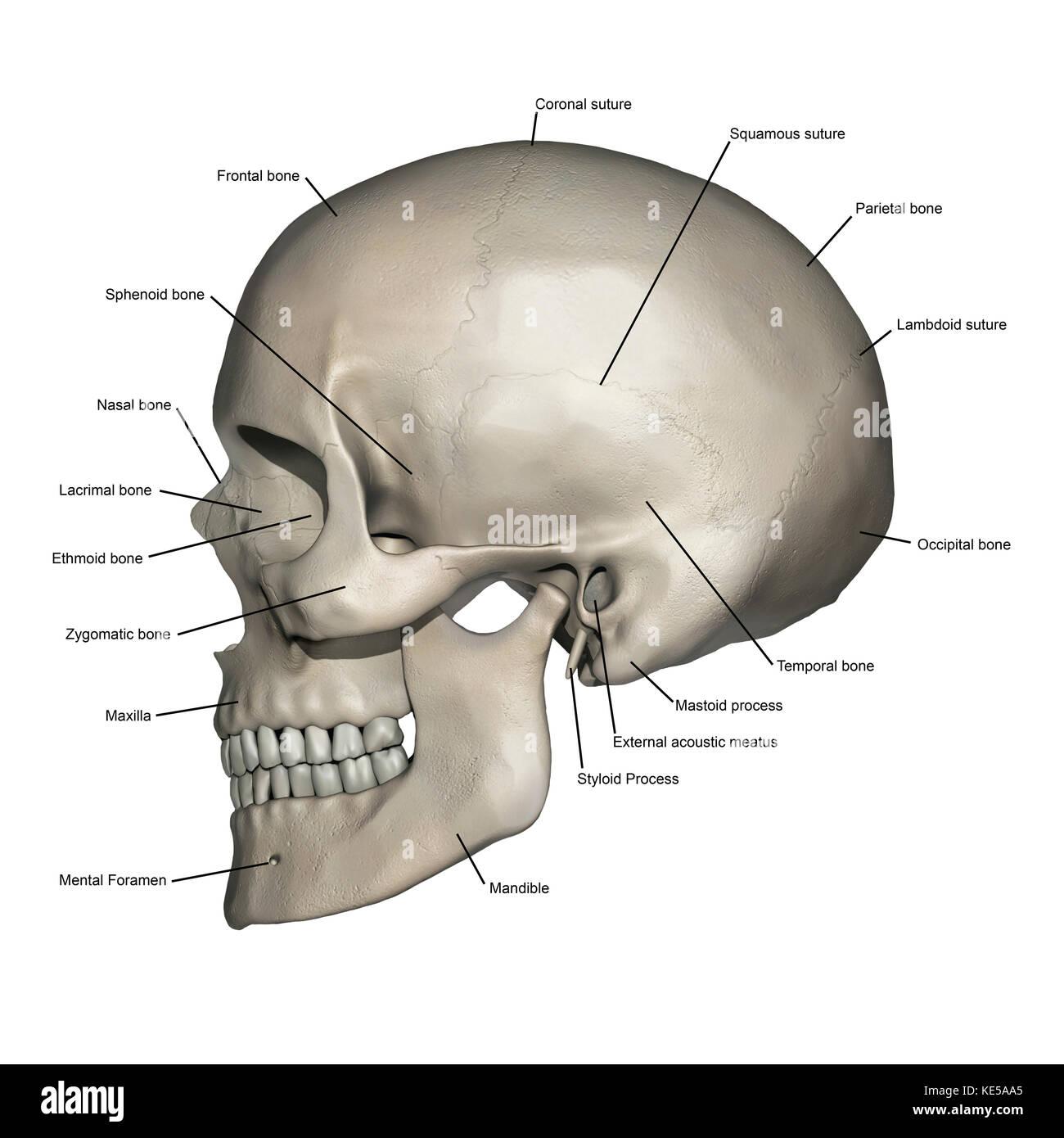 Seitliche Ansicht von der menschlichen Schädel Anatomie mit ...