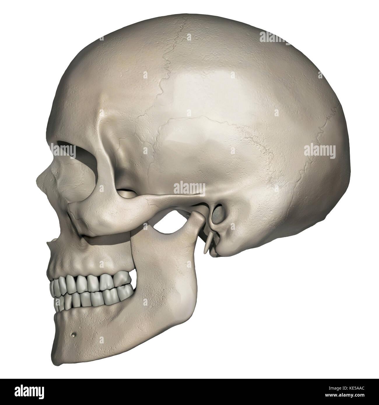 Seitliche Ansicht von der menschlichen Schädel Anatomie Stockfoto ...