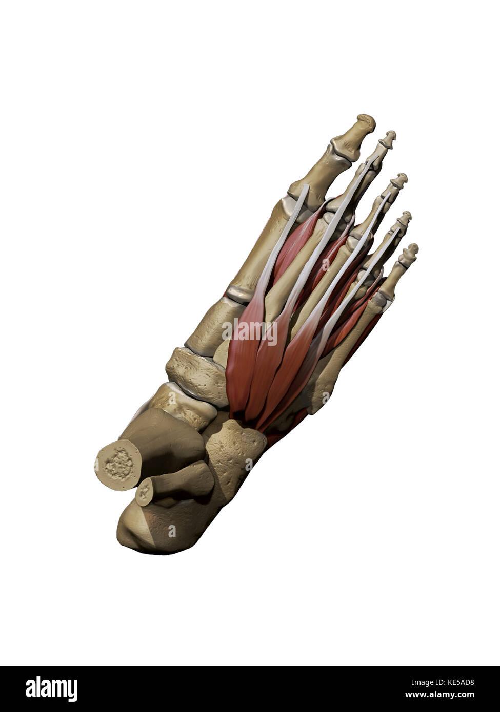 Großartig Muskeln Des Fußes Ideen - Anatomie Ideen - finotti.info