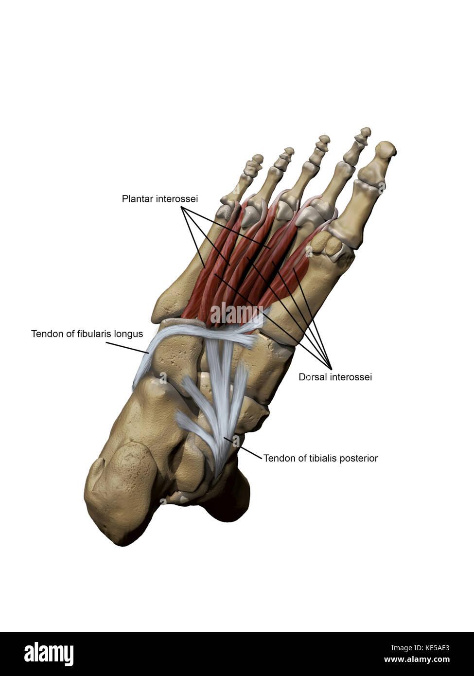 Human Dorsal Muscles Stockfotos & Human Dorsal Muscles Bilder - Alamy