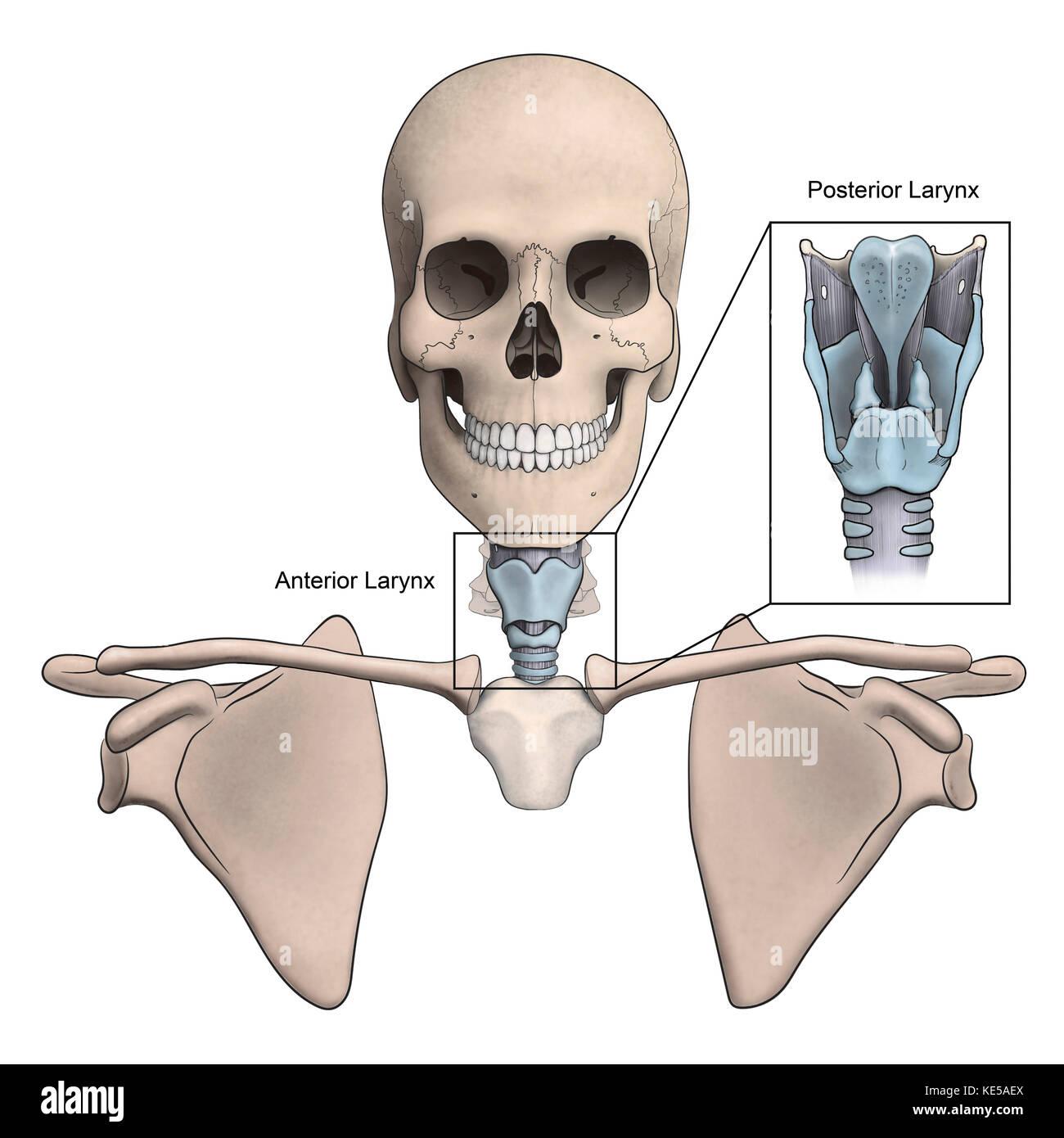 Anterioren und posterioren Kehlkopf und Skelett Anatomie Stockfoto ...