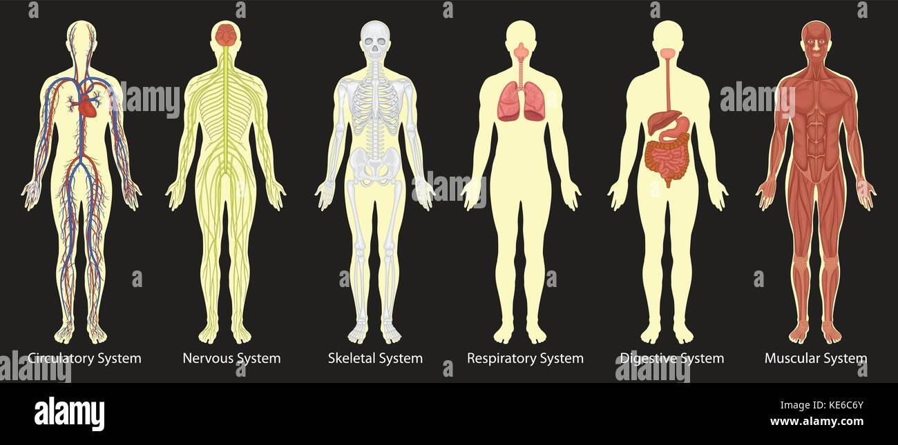 Ausgezeichnet Menschliche Körper Systeme Interaktiv Galerie ...