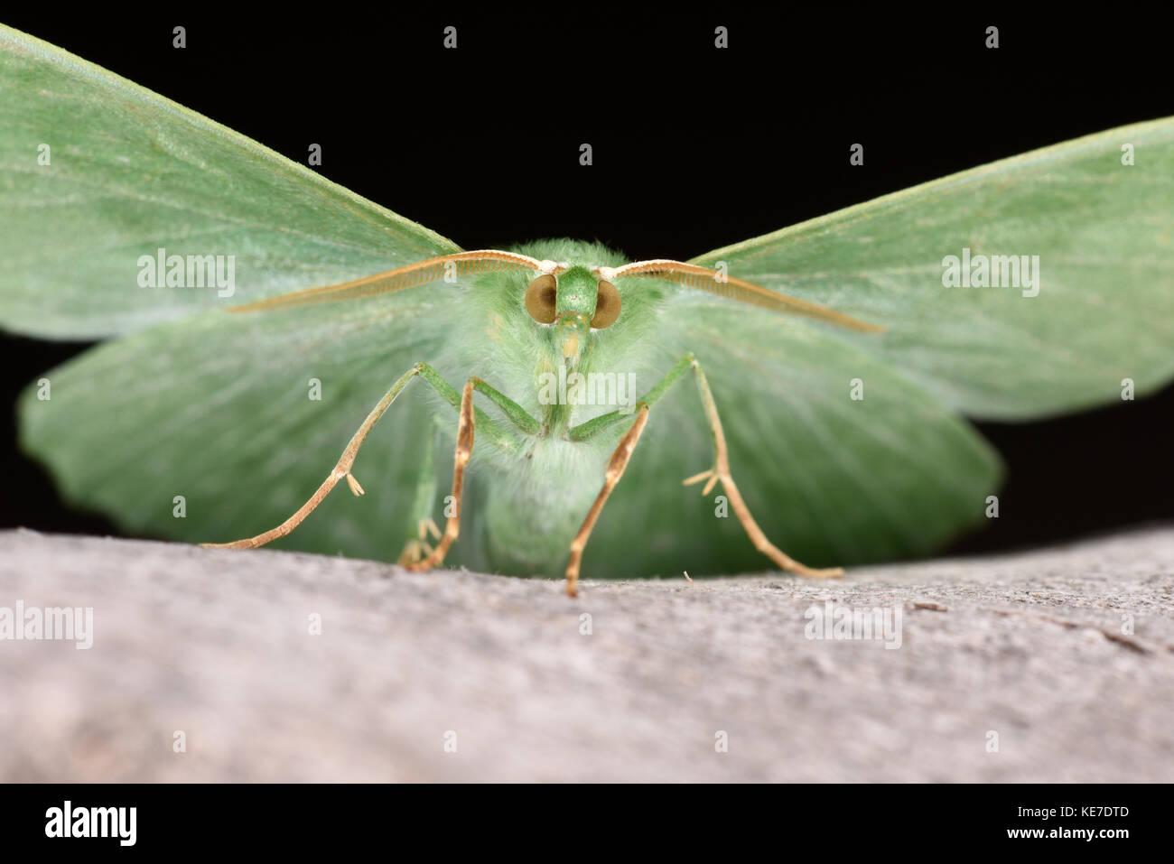 Große emerald Motte (Geometer papilionaria) Erwachsenen auf dem Baumstamm mit Flügel erweitert, Monmouth, Stockbild
