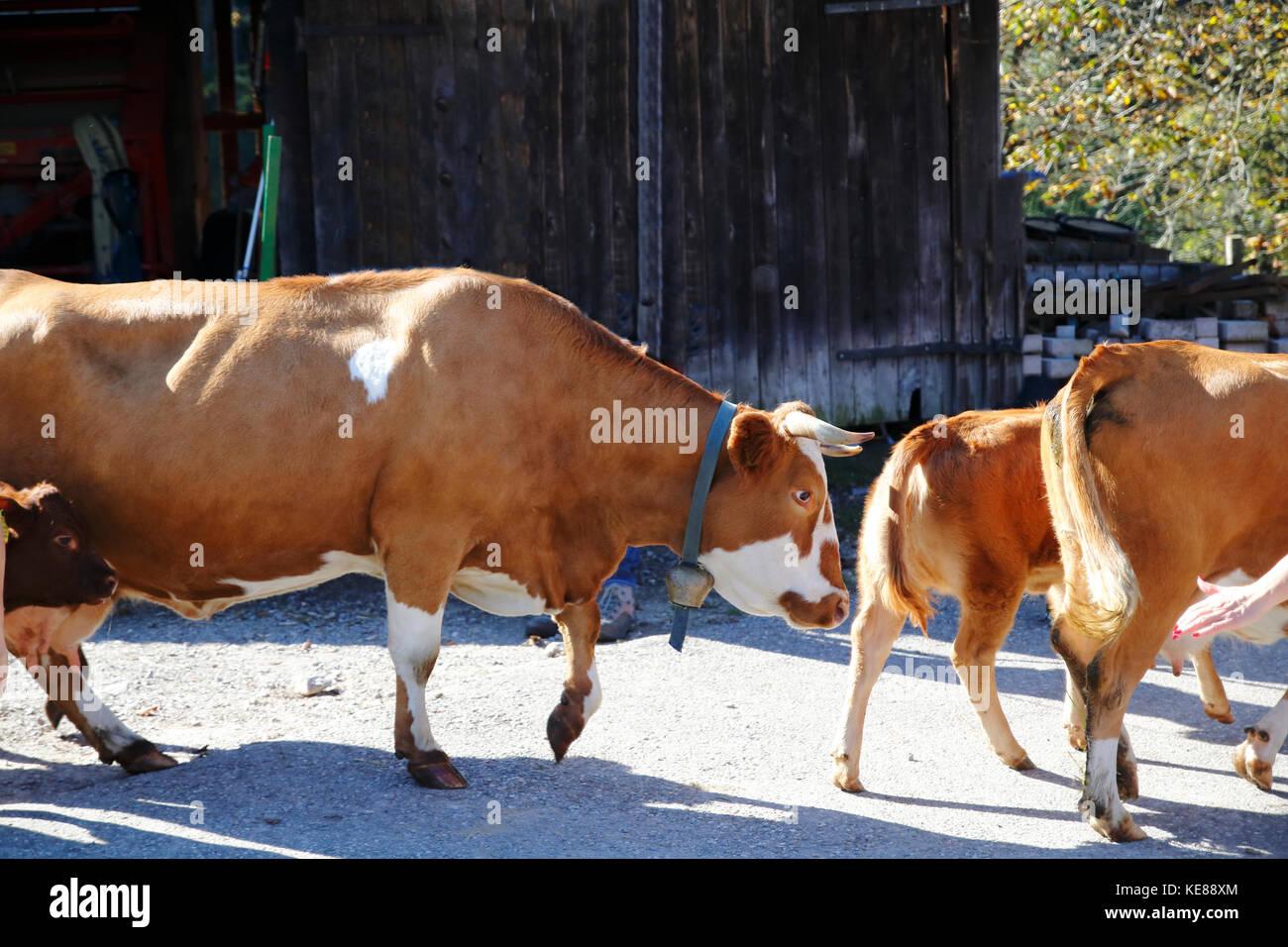 Kuh, Kühe beim Almabtrieb, Abtrieb von der Weide Stockbild