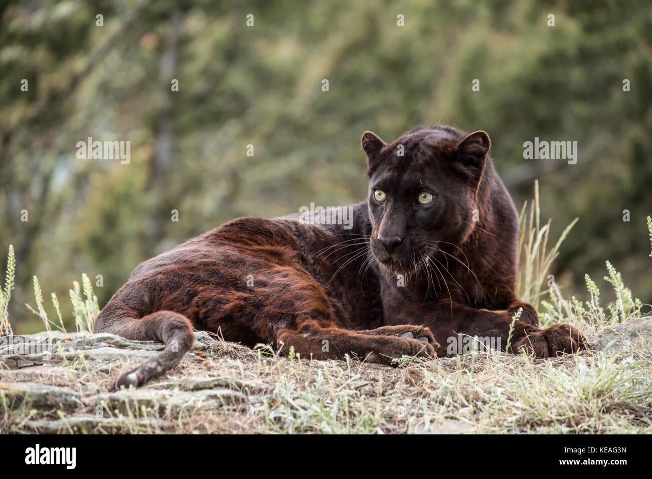 black panther liegend aber sehr aufmerksam in der n he. Black Bedroom Furniture Sets. Home Design Ideas