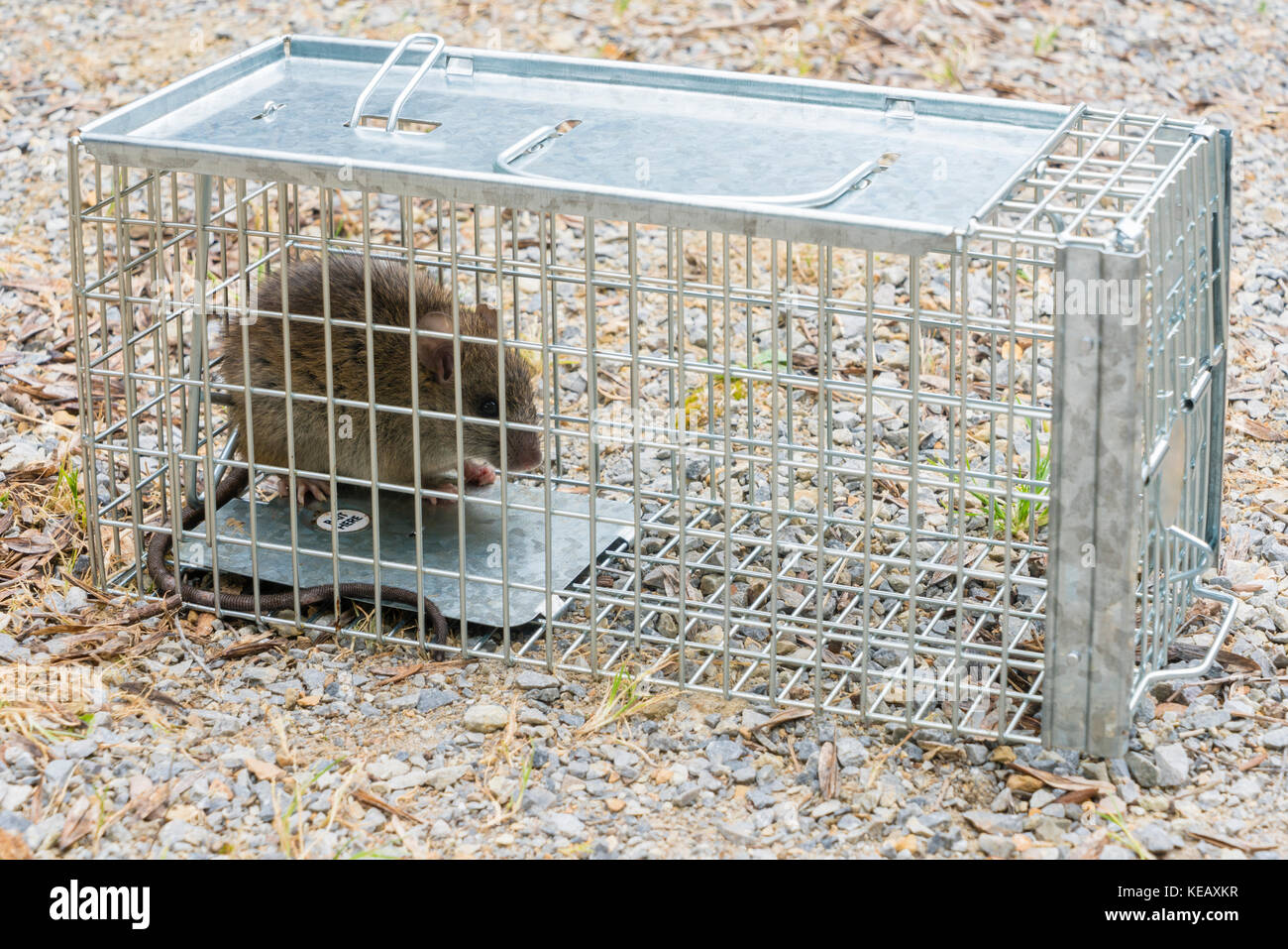 rat trap cage stockfotos rat trap cage bilder alamy. Black Bedroom Furniture Sets. Home Design Ideas