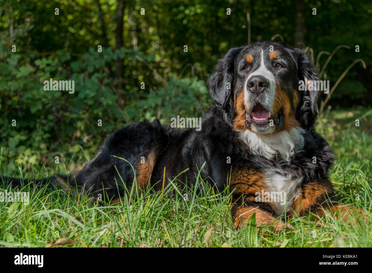 berner sennenhund stockfotos berner sennenhund bilder alamy. Black Bedroom Furniture Sets. Home Design Ideas