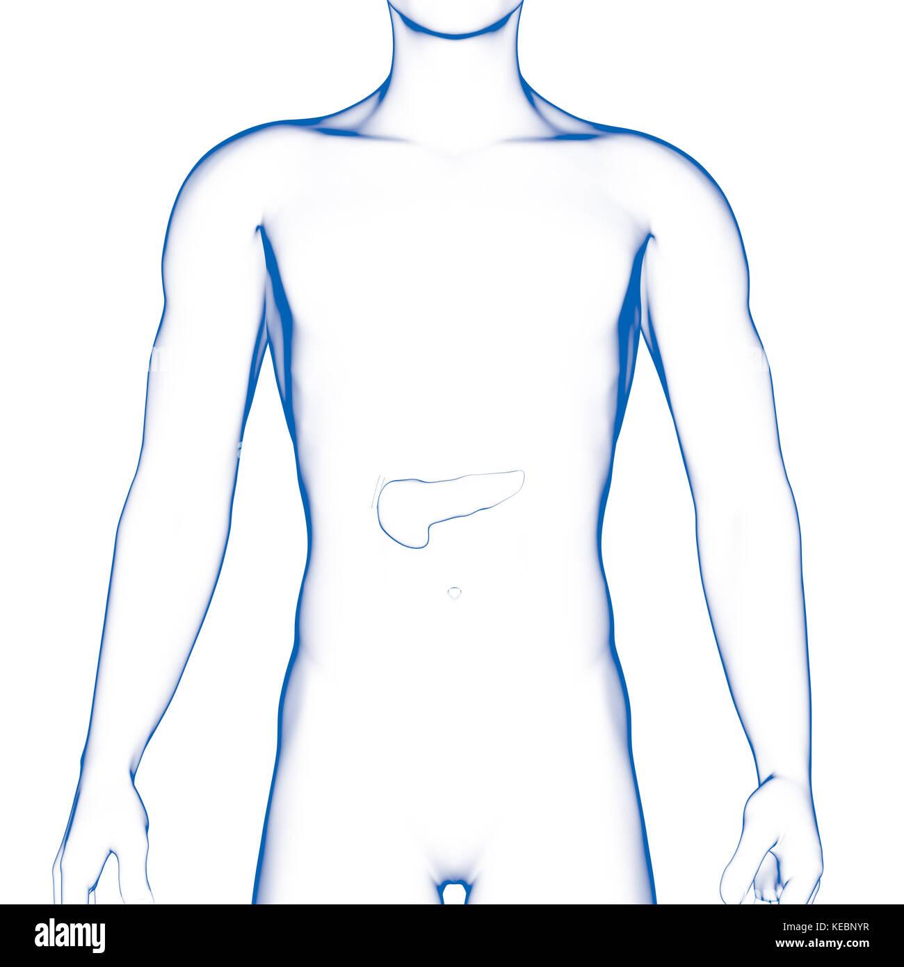 Pankreas, internen Organ, menschlichen Körper Stockfoto, Bild ...