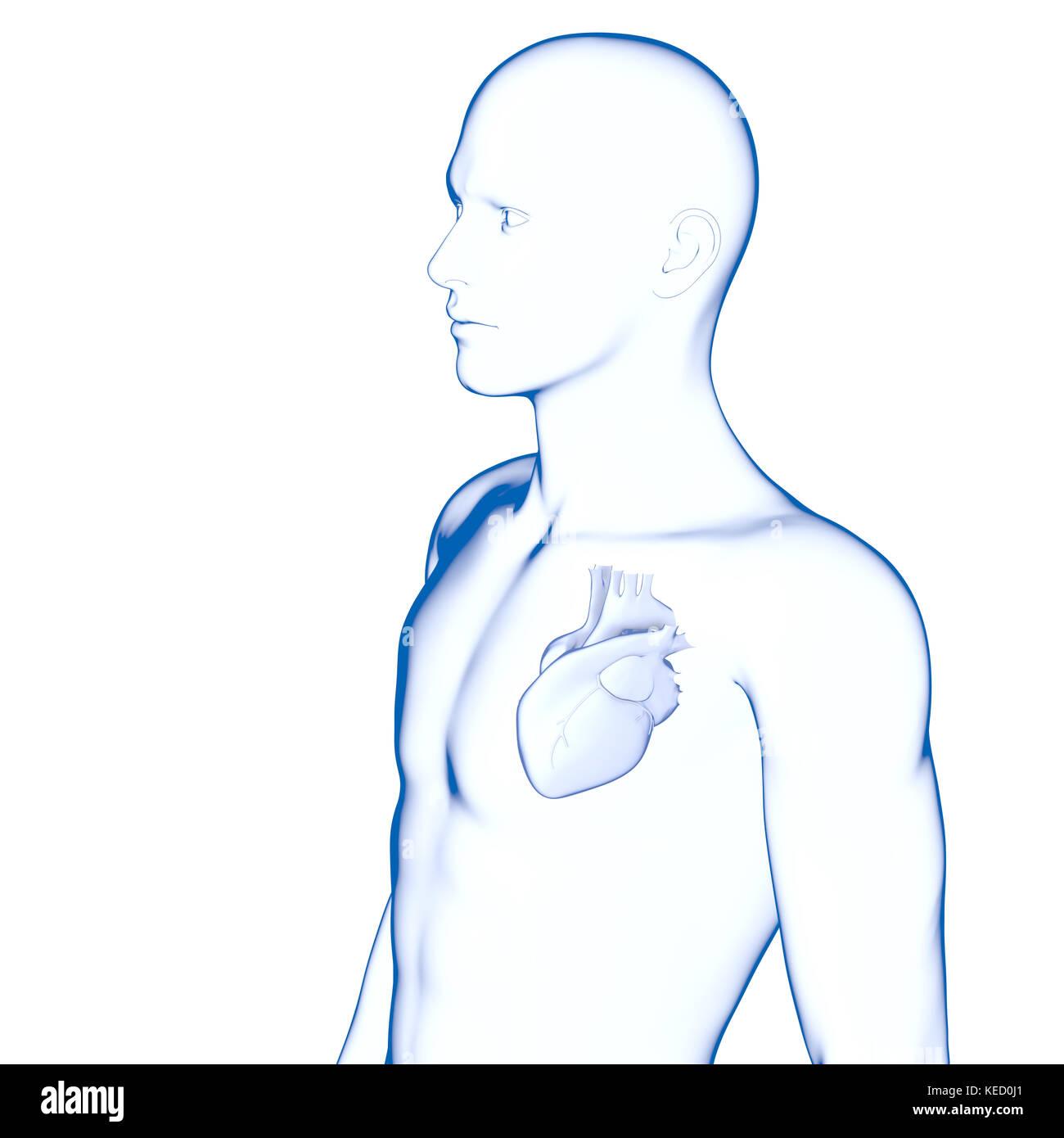 Man Human Circulatory System Stockfotos & Man Human Circulatory ...