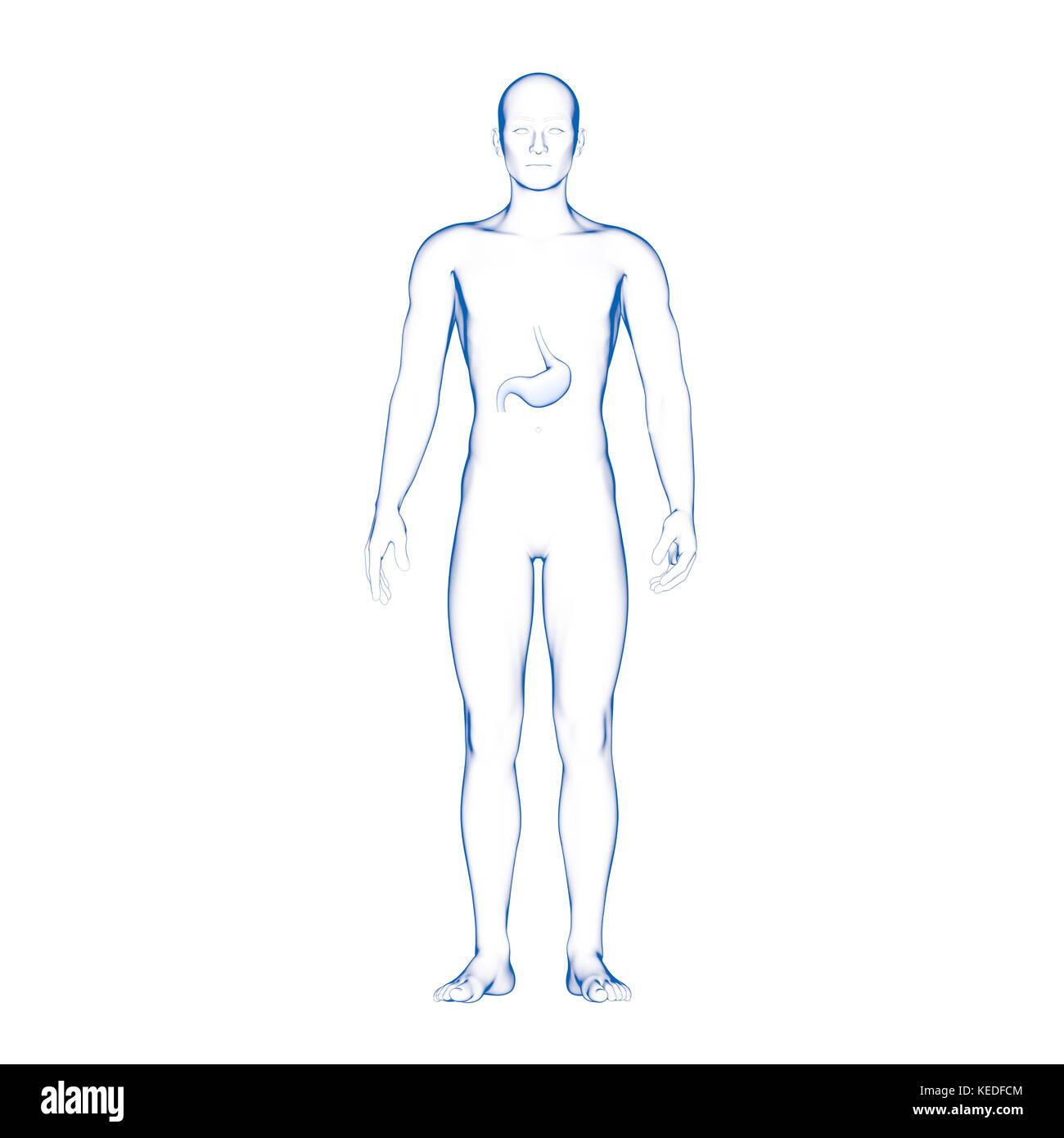Ungewöhnlich Menschliche Körper Organe Zurück Ideen - Anatomie Ideen ...