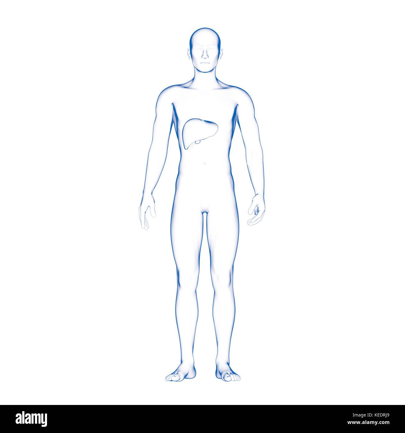 Tolle Anatomie Der Leber Lage Fotos - Menschliche Anatomie Bilder ...