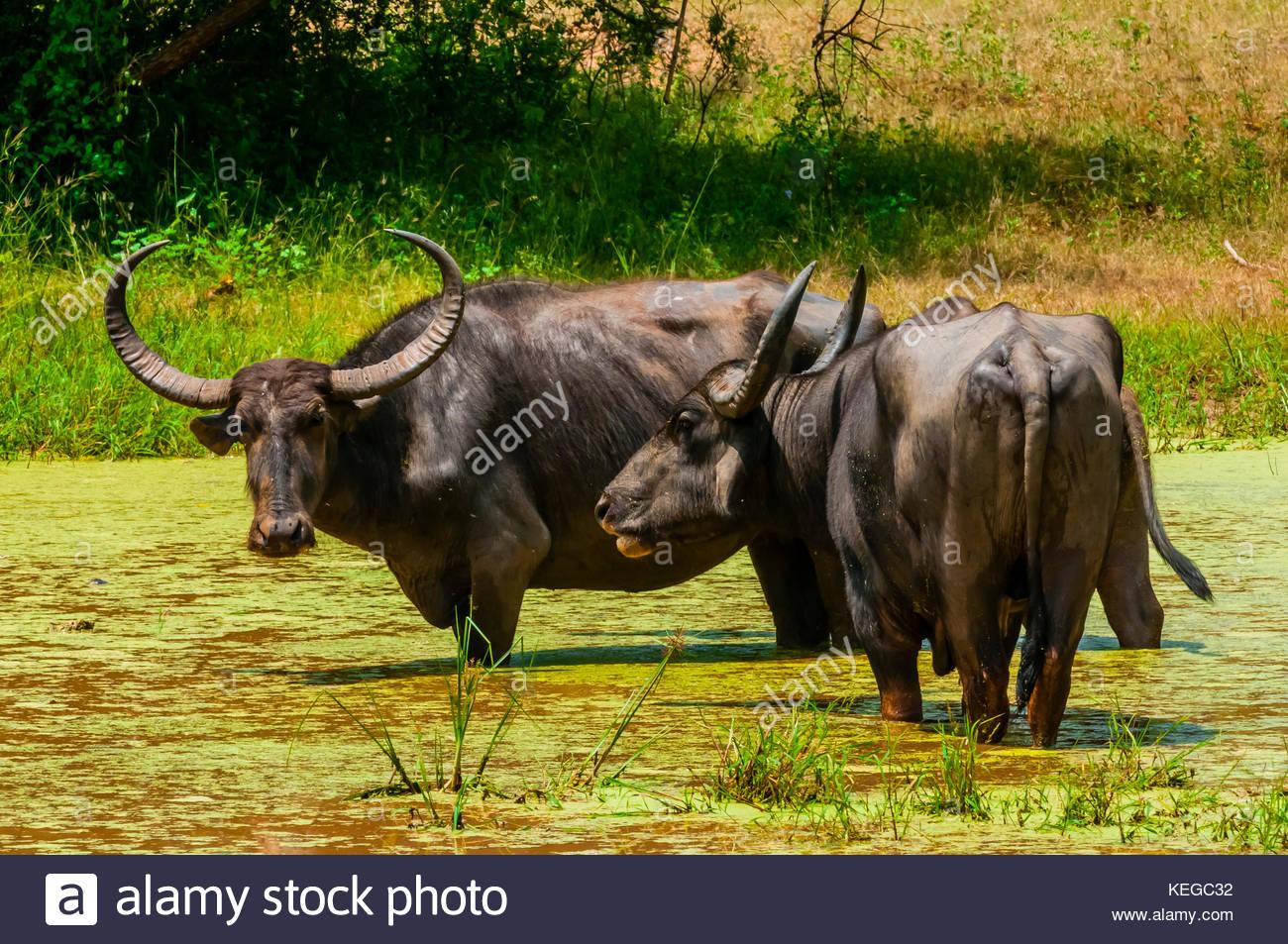 Wilde Wasserbüffel, Yala National Park, in der südlichen Provinz, Sri Lanka. Stockbild