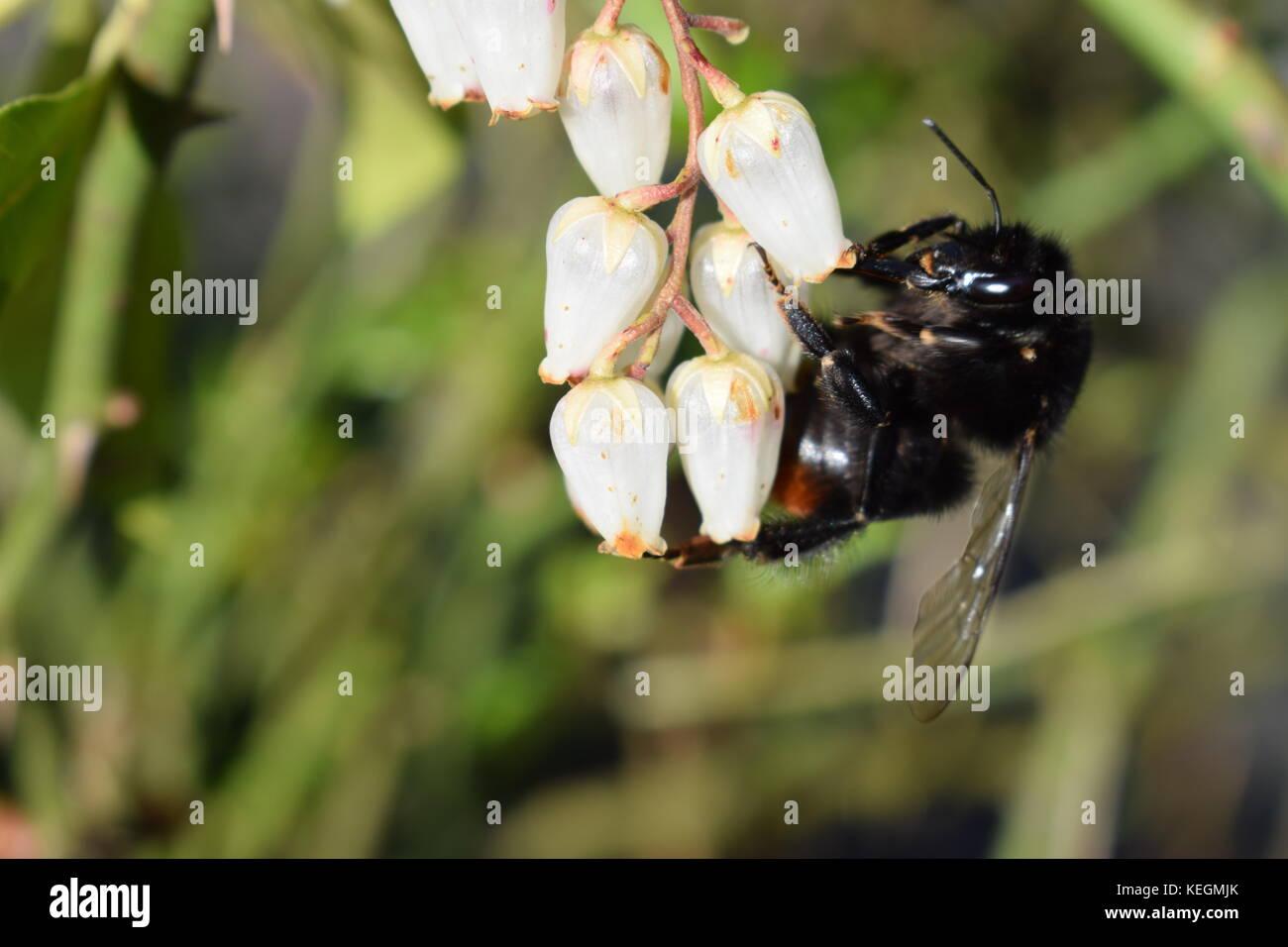 meet b7edc 07c79 Hummel auf weiße Blüte im Frühjahr Stockfoto, Bild ...