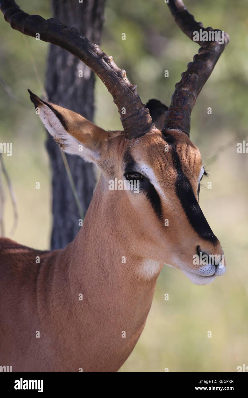 - Springbock springbock Etosha Nationalpark in Namibia Stockbild
