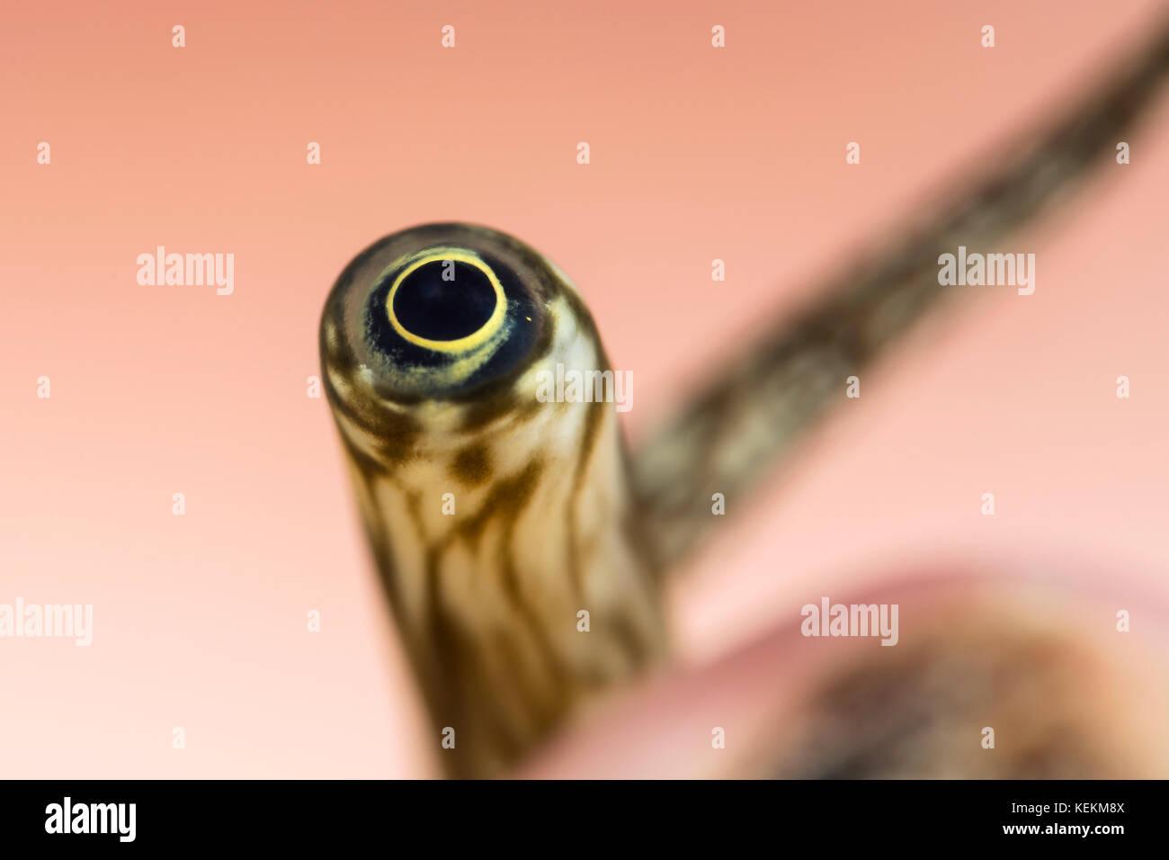 Auge der Riesenspinne Conch, Lambis truncata, Marsa Alam, Rotes Meer, Ägypten Stockbild