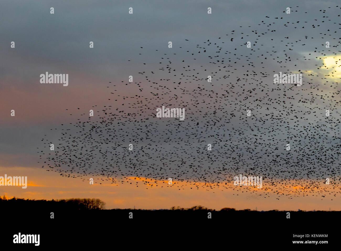 the latest d1e8a ec511 Ein spektakulärer Sonnenuntergang starling Flug, Erfassung ...