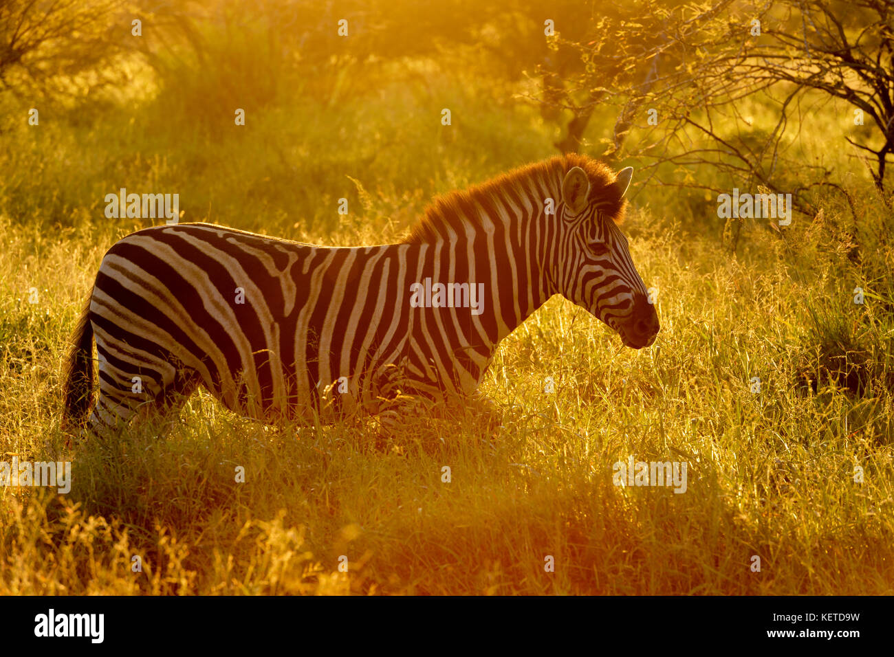 Ebenen Zebras (Equus quagga) mit Hintergrundbeleuchtung auf Savanne bei Sonnenaufgang, Krüger Nationalpark, Stockbild