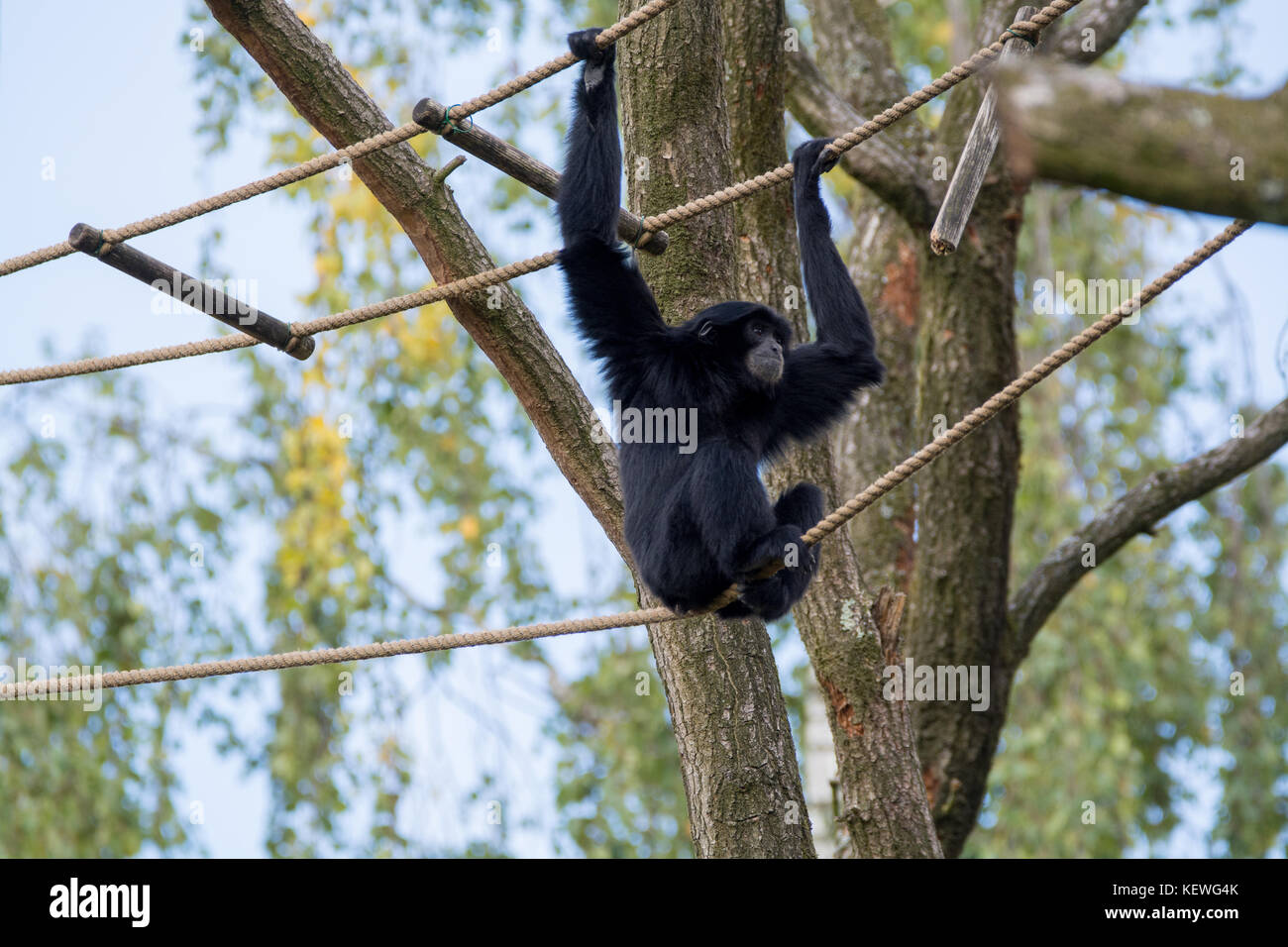 monkey swinging gibbon stockfotos monkey swinging gibbon bilder alamy. Black Bedroom Furniture Sets. Home Design Ideas